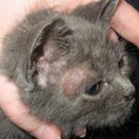 Фотография кожного заболевания у кошки