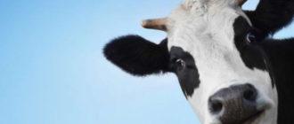 Бородавки на вымени у коров
