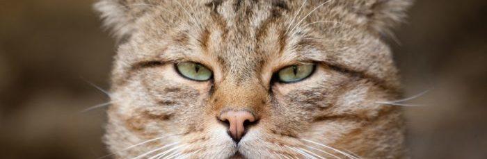 Фото, лечение и описание кожных заболеваний у кошек