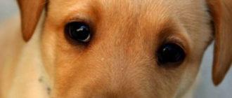 Бородавка у собаки