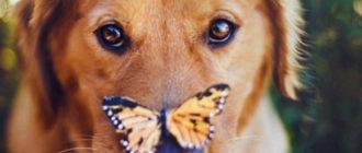 Лечение и симптомы атопического дерматита у собак
